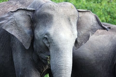 Elephant. An Elephant is looking calm Stock Photography