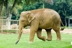Elephant. Walking in the elephant grass Stock Image