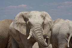 Elephant. An elephant at the waterhole preparing to scare the photographer stock images