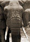 Elephant. African elephant Stock Images