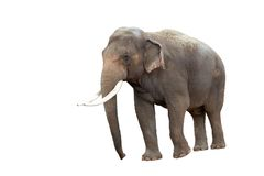 Elephant. That has been isolated Stock Photo