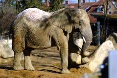 Elephant. An elephant in a zoo Stock Photos