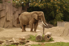 Elephant 5. A picture of an adult elephant at a wisconson zoo Royalty Free Stock Photos
