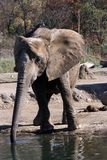 Elephant. At drinking hole Royalty Free Stock Images