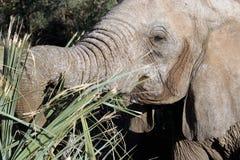 Elephant. Head of elephant feeding, savanna, samburu national reserve, Kenya, Africa royalty free stock photography