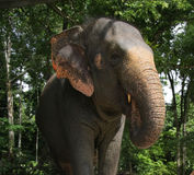 Elephant. Close up of a elephant in malasia stock photography