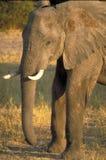 Elephant. An elephant in Chobe National Park, Botswana royalty free stock photos