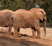 Elephant. African elephant in zoo Royalty Free Stock Images