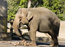 Elephant. In an enclosure Royalty Free Stock Image