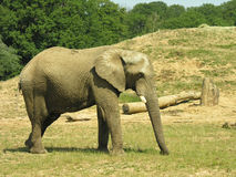 Elephant. In a public Park/zoo Royalty Free Stock Images