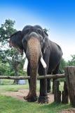 Elephant Royalty Free Stock Photo