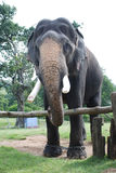 Elephant. Indian elephant chained its leg Stock Image