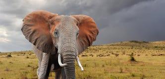 Free Elephant Royalty Free Stock Photo - 61411905