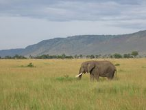 Elephant. In the field stock image