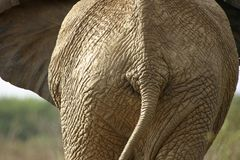 Elephant ass stock photos images pictures 96 images - Elephant assis ...