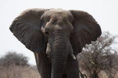 Elephant. Close up of an Elephant in the Etosha National Park, Namibia royalty free stock image