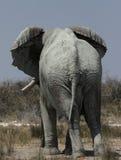 Elephant. (Loxodonta africana) in the Etosha National Park, Namibia royalty free stock photos