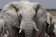 Elephant. In the Etosha National Park, Namibia stock image
