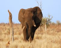 Elephant. An African Elephant (Loxodonta africana) in the Kruger Park, South Africa Stock Image