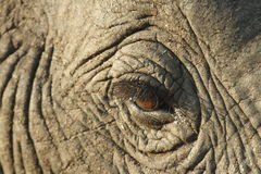 Elephant. Eye watching the world go by royalty free stock photo