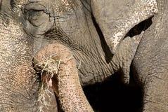 Elephant. Large elephant captured close-up while eating hay Royalty Free Stock Photography