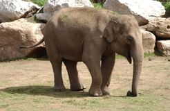 Elephant. A elephant walking around looking for food royalty free stock photos