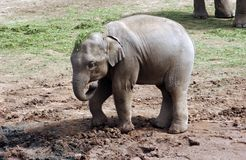 Elephant. A baby elephant looking for food to eat Stock Photos