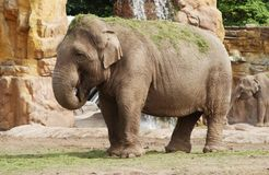 Elephant. A elephant throwing grass onto its back royalty free stock photography