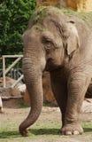 Elephant. A close up of a elephants head eating stock photography