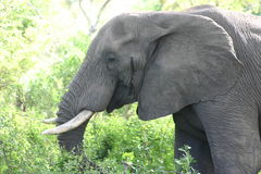 Elephant. Adult male elephant in Kruger National Park, South Africa Stock Images