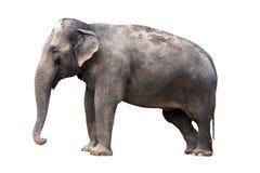 Elephant. Indian elephant - isolated on white background Stock Images