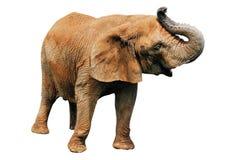 Free Elephant Royalty Free Stock Images - 8015089
