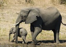 Elephant. And her baby royalty free stock images