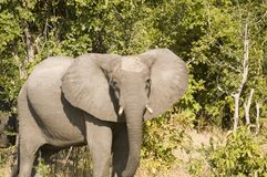 Elephant. In South Luangwa National Park Stock Image