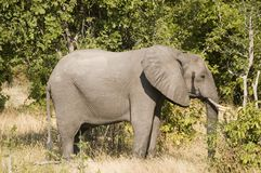 Elephant. In South Luangwa National Park Stock Photos