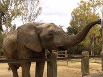 Elephant. Nose up Royalty Free Stock Photo