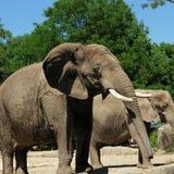 Elephant. S in the zoo Royalty Free Stock Photos