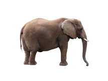 Elephant. The Elephant on white background Stock Image