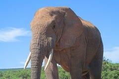 Elephant. African Elephant Close Up Stock Image
