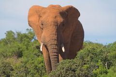 Elephant. In the African bush Royalty Free Stock Photography