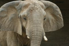 Elephant. Close up of African Elephant Royalty Free Stock Photos