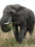 Elephant. Close up of an elephant feeding in the Serengeti in Tanzania, Africa Stock Image