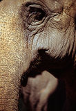 Elephant. Close up Stock Photography