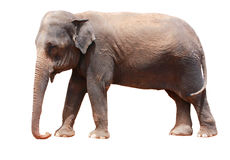 Elephant. Gray elephant isolated on white Royalty Free Stock Images