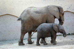 Elephant. Mother and baby elephant Royalty Free Stock Image