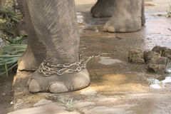 Elephant abuse Stock Photo