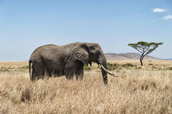 Elephant and Acacia tree Royalty Free Stock Photo