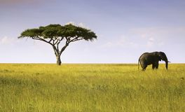 Elephant and Acacia Tree Serengeti National Park. Acacia Tree and Lone Elephant on Safari in Serengeti National Park, Tanzania Africa stock photos