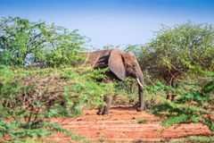 Elephant among acacia tress , Kenya Royalty Free Stock Photos