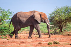 Elephant among acacia tress , Kenya Royalty Free Stock Images